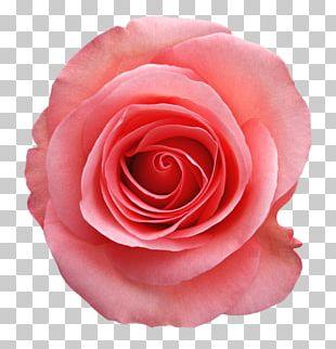 Beach Rose China Rose Garden Roses Pink Flower PNG