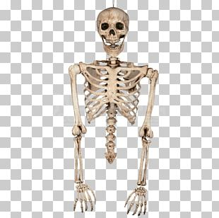 Human Skeleton Bone Torso Human Body PNG
