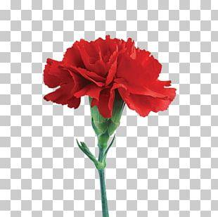 Carnation Cut Flowers Lilium Rose PNG