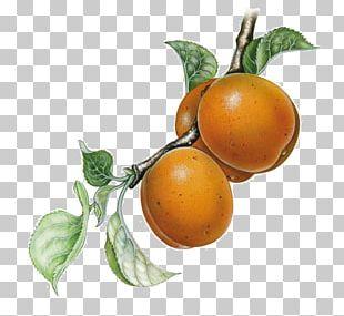 Clementine Rangpur Tangerine Bitter Orange Grapefruit PNG