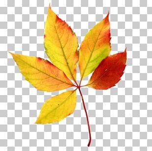 Autumn Leaf Color Maple Leaf PNG