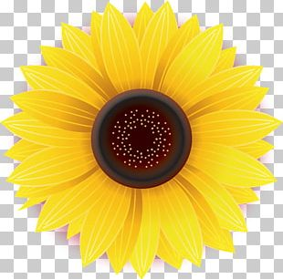 Common Sunflower Daisy Family Yellow Stock Photography PNG