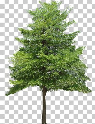 Tree Texture Mapping 3D Computer Graphics PNG