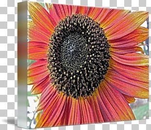 Common Sunflower Sunflower Seed Transvaal Daisy Sunflower M Coneflower PNG