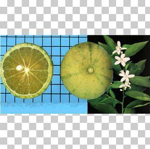 Citrus PNG