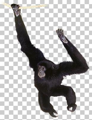 Gorilla Common Chimpanzee Gibbon Primate Orangutan PNG