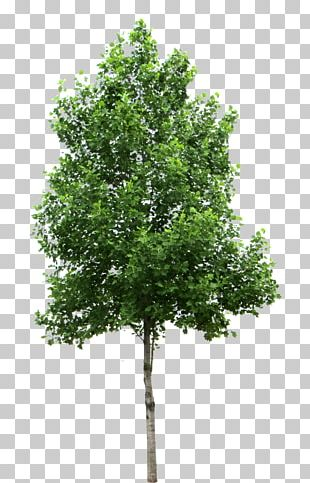 Tree Birch PNG