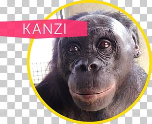 Common Chimpanzee Gorilla Ape Cognition And Conservation Initiative Kanzi Bonobo PNG
