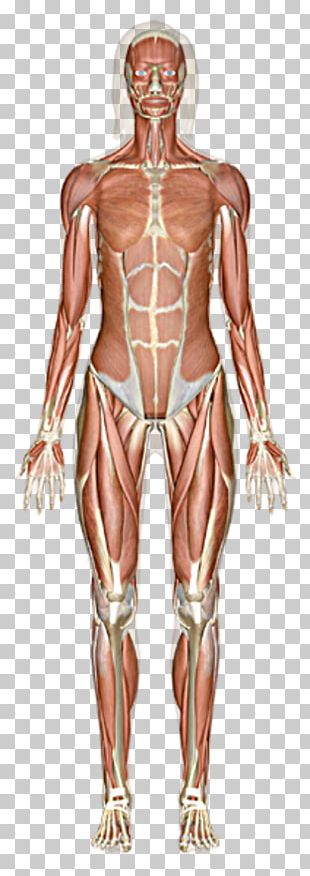 The Muscular System Skeletal Muscle Human Body PNG