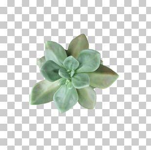 Succulent Plant Cactaceae Light Leaf PNG