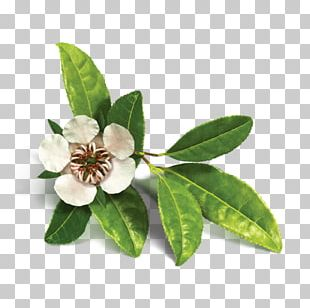 Organic Food Tea Tree Oil Essential Oil Copaiba PNG