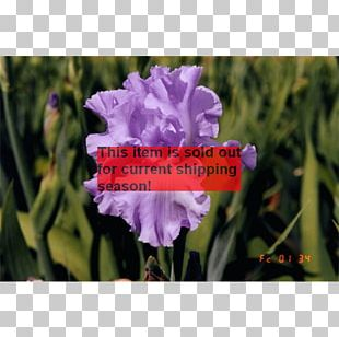 Annual Plant Herbaceous Plant Violet Family PNG