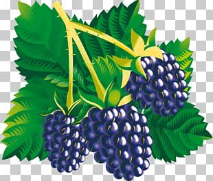 Mulberry Amora Blackberry PNG