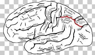 Intraparietal Sulcus Parietal Lobe Central Sulcus Frontal Lobe PNG
