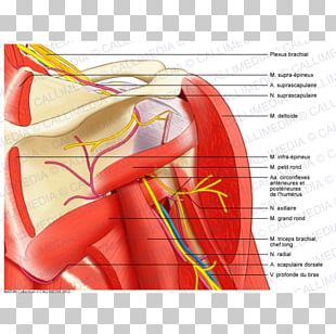 Shoulder Muscular System Anatomy Muscle Human Body PNG