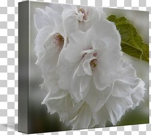 Mallows Cherry Blossom Greeting & Note Cards Family PNG