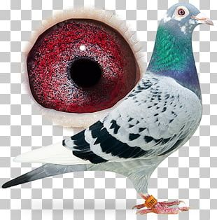 Racing Homer Columbidae Fancy Pigeon Bird Breed PNG