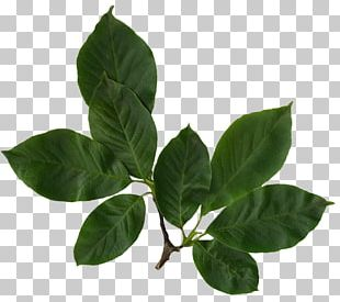 Look At Leaves Leaf Computer Icons PNG