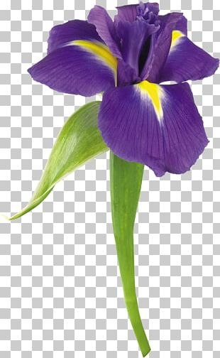 Flower Stock Photography Iris Color PNG