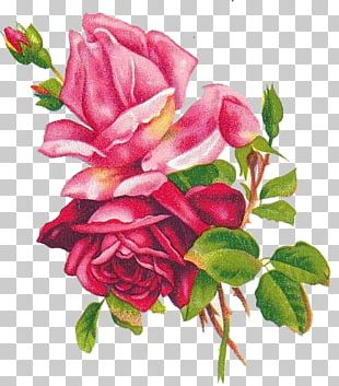 Beach Rose Flower Blue Rose Painting Drawing PNG