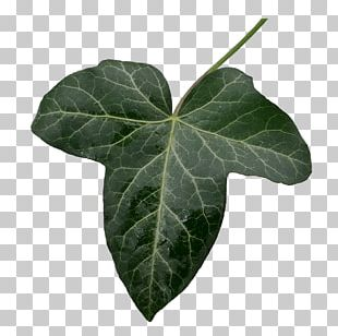 Leaf Common Ivy Portable Network Graphics PNG