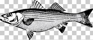 Striped Bass Fishing Striped Bass Fishing Salmon Fly Fishing PNG