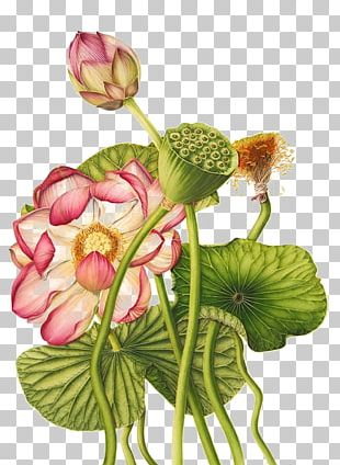 Nelumbo Nucifera Egyptian Lotus Exotic Botany Botanical Illustration PNG