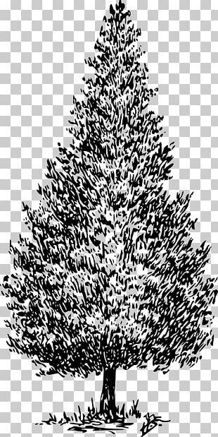 Cedrus Libani Deodar Cedar Conifers PNG