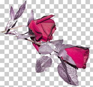 Rose Family Cut Flowers Petal Pink M PNG