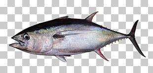 Albacore Bigeye Tuna Atlantic Bluefin Tuna Southern Bluefin Tuna Yellowfin Tuna PNG
