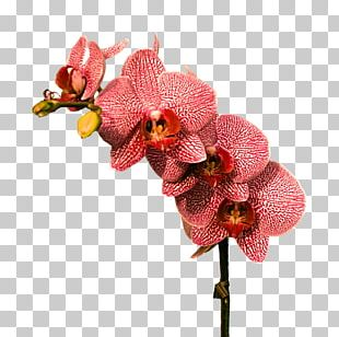 Cephalanthera Flower Red Color Plant PNG