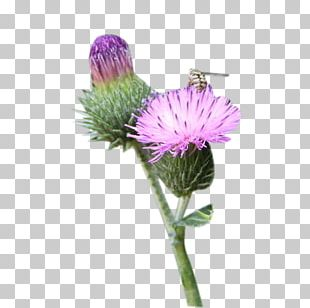 Milk Thistle Greater Burdock PNG