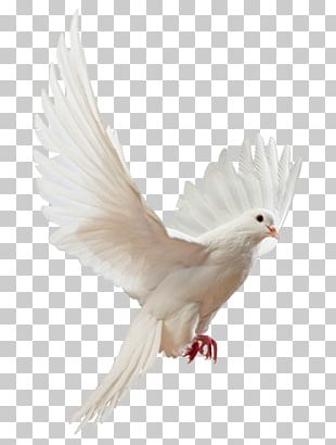 Columbidae Flight Bird Stock Photography PNG