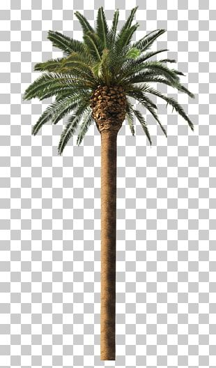 Date Palm Arecaceae Coconut Tree Frond PNG