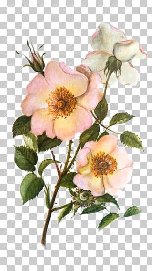 Dog-rose Cabbage Rose Garden Roses Glaucous Dog Rose Sweet-Brier PNG