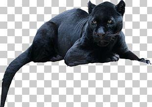 Black Panther Leopard Jaguar Cat Tiger PNG