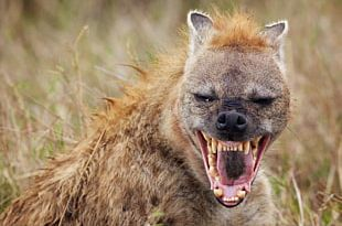 Striped Hyena African Wild Dog Spotted Hyena Wildlife PNG