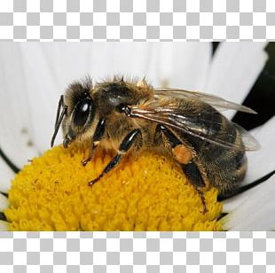 Western Honey Bee Insect Bumblebee Bee Pollen PNG