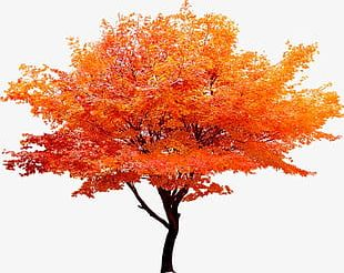 Red Maple Tree PNG