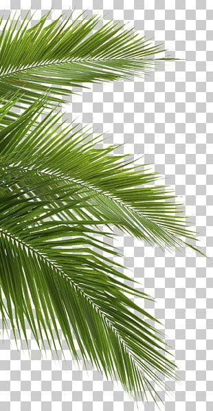 Coconut Arecaceae Leaf White PNG