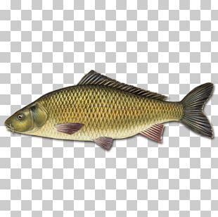 Mirror Carp Koi Goldfish Carp Fishing PNG