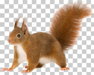 Red Squirrel Rodent Tree Squirrels PNG
