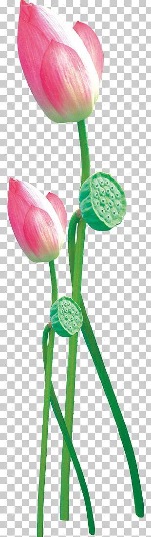 Lotus PNG