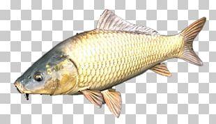 Milkfish Common Carp Herring PNG