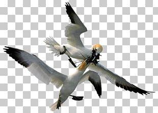 Gannets Bird Beak Feather PNG