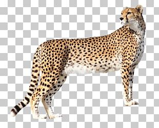 Cheetah Lion High-definition Television PNG