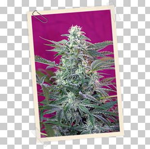 Seed Bank Seed Company Autoflowering Cannabis Skunk PNG