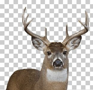 White-tailed Deer Reindeer Portable Network Graphics PNG