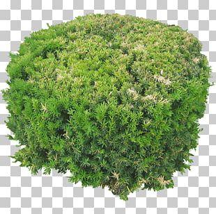 Shrub Tree Rendering PNG