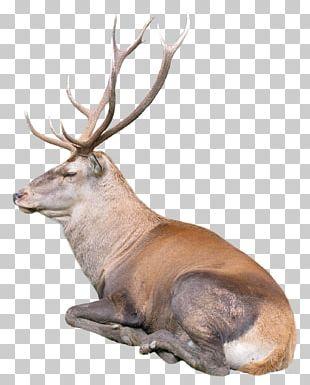 Reindeer Rudolph PNG